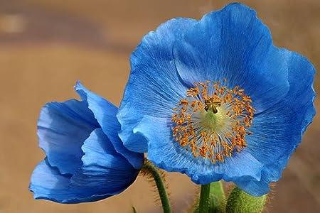 Amazon 10 himalayan blue poppy tibetan meconopsis amazon 10 himalayan blue poppy tibetan meconopsis betonicifolia flower seeds flowering plants grocery gourmet food mightylinksfo