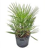 PlantVine Chamaerops humilis cerifera, European Fan Palm 'Silver', Mediterranean Fan Palm - Extra Large - 12-14 Inch Pot (7 Gallon), Live Plant