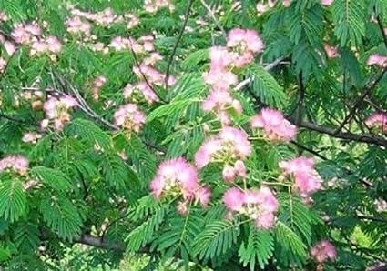 Amazon mimosa 50 fresh seeds beautiful fuzzy pink flowers mimosa 50 fresh seeds beautiful fuzzy pink flowers mightylinksfo