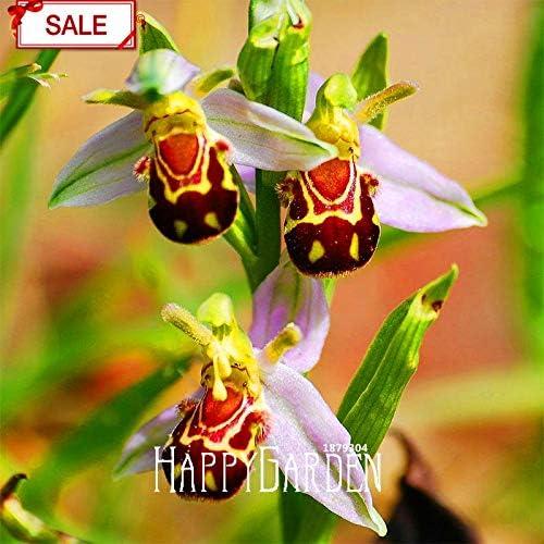 Pinkdose Venta grande Las plantas de abejas de orquídeas en maceta bonsai perenne de flores de jardín plantas interesantes 50 partículas/paquete, NMB865: Amazon.es: Jardín