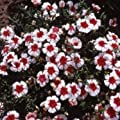Outsidepride Dianthus - Merry-Go-Round