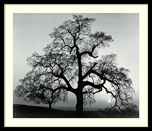 - Framed Art Print, 'Oak Tree, Sunset City, California, 1962' by Ansel Adams: Outer Size 27 x 23