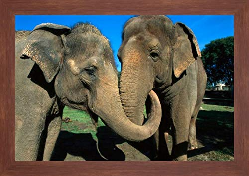 Asian Elephant Pair with Entwined Trunks, Native to India, Asia, Thailand and Laos by San Diego Zoo - 24