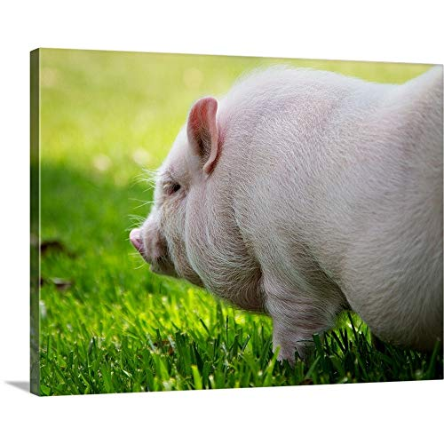 GREATBIGCANVAS Gallery-Wrapped Canvas Entitled Young Vietnamese Potbellied Pig Playing in Grass on Sunny Day. by 40