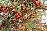 20 Brilliant RED Chokeberry Seeds - Aronia arbutifolia 'Brilliantissima'