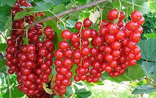 50pcs Seeds red Currant Fruit Home Garden Fruit Yard Planting Plants ()