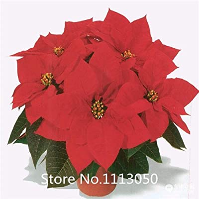 Promotion 300 pcs / bag, Poinsettia seeds, DIY potted plants, indoor / outdoor pot flower seeds germination rate of 95% mixed co : Garden & Outdoor