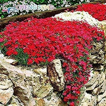 VISTARIC Rojas: 200pcs / bag cactus amables plantas grandes semillas de primavera de hoja de hierba suculentas nuevas plantas Mini bonsai en maceta ornamental para jardines de marihuana
