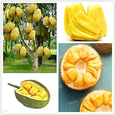 10 Oraganic Fresh JackFruit Seeds Tropical Worlds Largest Tropical Fruit seed