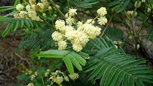 25x Acacia mearnsii Schwarzholz Akazie Samen Mimosenbaum Samen Baum Akazien B503