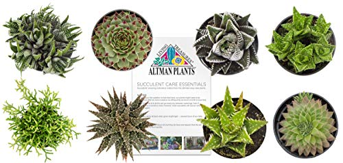 "Altman Plants Assorted Live Succulents Windowsill & Indoor Collection Easy care plants for Windows, Office, Kitchen, 2.5"", 8 Pack"