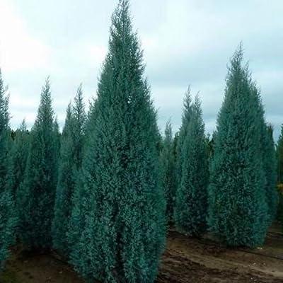 Arizona Cypress Tree Seeds (Cupressus arizonica) 25+Seeds : Garden & Outdoor