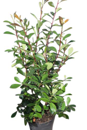 Olive Grove Photinia Fraseri- Red Robin - Approx 45cm tall