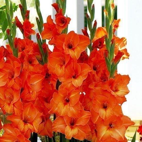 (Sun-Kissed Gladiolus (Orange) 10 bulbs. Summer flowering, Perennial)