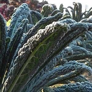 Kale Black Magic 1,000 seeds