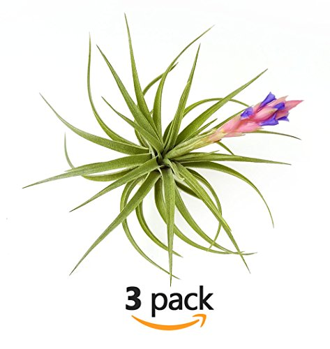 The Drunken Gnome AIR PLANTS – AERANTHOS – 3 PACK - air purifying flowering tillandsia for terrarium, fairy garden starter kit, home office, indoor outdoor, corporate gift (3 PACK) by TDG Pro