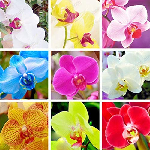 100 pcs Orchid Seeds phalaenopsis Seed Bonsai Balcony Flower Garden Mixed Colors