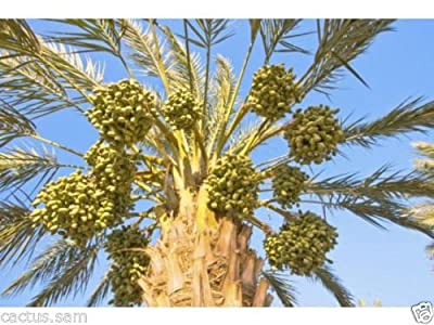 15 Medjool Date Palm Seeds, Pits, Phoenix dactylifera Large Fruit Mejhool Dates