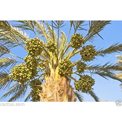 15 Medjool Date Palm Seeds, Pits, Phoenix dactylifera Large Fruit Mejhool Dates : Garden & Outdoor