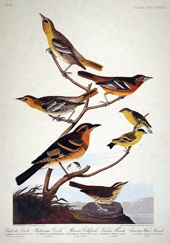 Baltimore Orioles Lithograph - Bullock's Oriole, Baltimore Oriole, Mexican Goldfinch, Varied Thrush, Common Water Thrush.