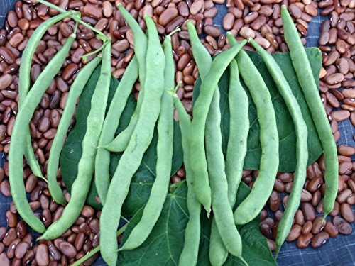 (Brown) Kentucky Wonder Pole Beans, 30+ Premium Heirloom Seeds, ON Sale!, (Isla's Garden Seeds), 99% Purity, 90% Germination, Non GMO Organic Survival Seeds, Highest Quality!