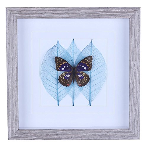 Blue Butterfly Specimen Framed Rectangle 10 x 10 Wall Decorations for Living Room/Bedroom/Kitchen/Bathroom/Office/Dining Room (Sasakia Charonda) (Room Shadow Box)