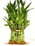 "KL Design & Import - 3 Tier 4"" 6"" 8"" Top Quality Lucky Bamboo For Feng Shui (Total About 38 Stalks)"