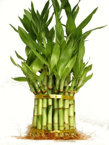 KL Design & Import - 3 Tier 4'' 6'' 8'' Top Quality Lucky Bamboo For Feng Shui (Total About 38 Stalks) by KL Design & Import