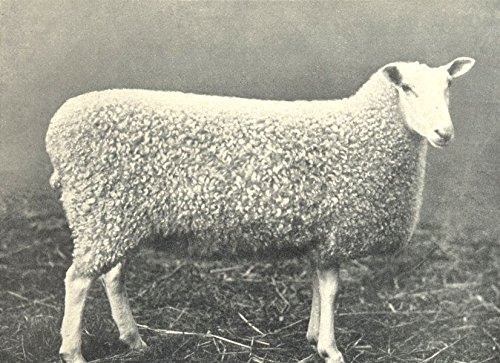 SHEEP. Border Leicester Gimmer Breed Champion at H. & A. S show, 1899-1912 - old print - antique print - vintage print - printed prints of - Poster Sheep Breeds