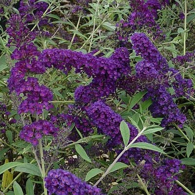 Black Knight Butterfly Bush: Well Established: Container Size: #1