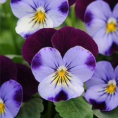 Viola Seeds Garden Blue Purple Groundcover Annual Flower Seeds Home Garden 100Pcs/Pack : Garden & Outdoor