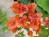 Bougainvillea 'Orange King' Starter Plant