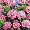 Outsidepride Dianthus - Pink Beauty