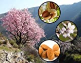 Sweet Almond Tree Prunus dulcis var. dulcis Bonsai Nut Tree - Tree Seeds (5)