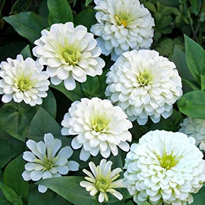 Zinnia elegans White Low Flower Seeds from Ukraine : Garden & Outdoor