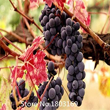 PlenTree 2015 30 Seeds/Pack, Cabernet Sauvignon Grape for sale  Delivered anywhere in USA