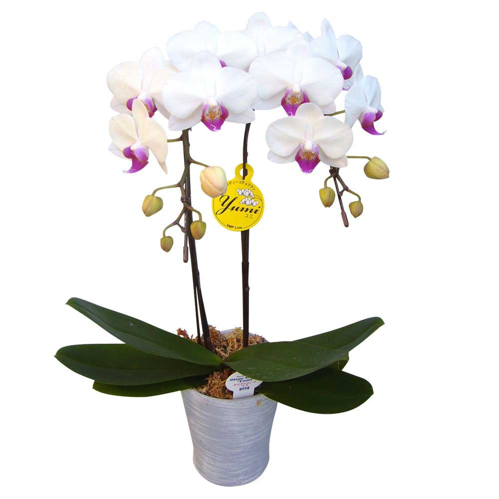 胡蝶蘭 ギフト 4号鉢 ラージサイズ2本立 ホワイト/ラッピング&メッセージ無料花のプレゼント 生花 鉢植え 開店祝いに 母の日 父の日 敬老の日 おじいちゃん おばあちゃん (白) B07CPMTQGK 白 白