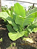 Seeds Tobacco Smoking Burley Giant Big Leaf Cigar Organic Heirloom Ukraine for Planting