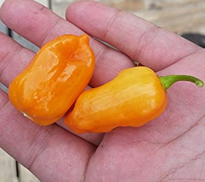 Scotch Bonnet Hot Pepper YELLOW 25+ Seeds Non GMO 2017 Harvest