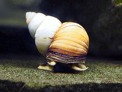 Aquatic Arts 10 Japanese Trapdoor Snails | Pond Snail/Freshwater Aquarium Algae Cleaner/Tetra Pond Clarifier/Filter | Great with Hornwort Plant (Trap Door Snails)