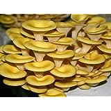 Cornucopia kit coltivazione 60 litri 18/20 kg pronto alla produzione funghi in 10 giorni