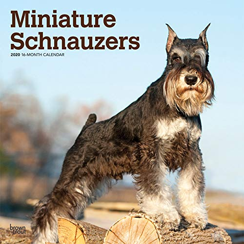 Miniature Schnauzers 2020 12 x 12 Inch Monthly Square Wall Calendar, Animals Small Dog Breeds (English, Spanish and French Edition) by BrownTrout Publishers Inc.