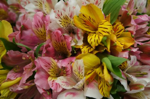 100 Blooms of Peruvian Lilies by eFlowerDeals.com