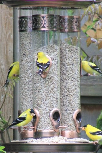 Golden Finches at the Bird Feeder Journal: 150 Page Lined Notebook/Diary