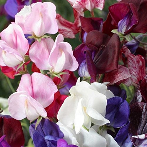 Flowers Sweet Pea Designs - David's Garden Seeds Flower Sweet Pea Old Spice SV1000G (Multi) 100 Open Pollinated Seeds