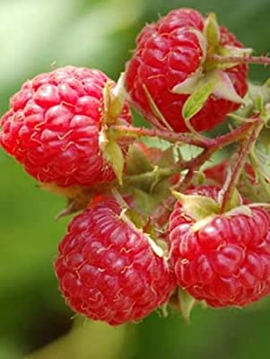 100 Williamette Raspberry Seeds