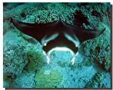 Manta Ray Ocean Sea Life Animal Nature Underwater Wall Decor Art Print Poster (16x20)