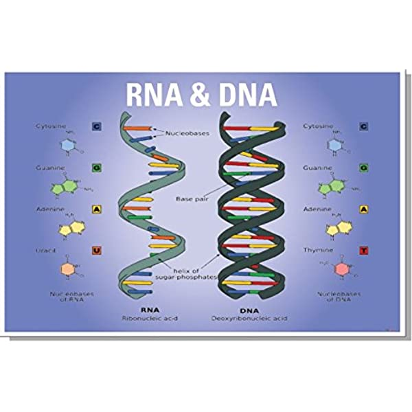 Amazon Com Posterenvy Dna Rna Biology Chart New Classroom Biology Poster Prints Posters Prints