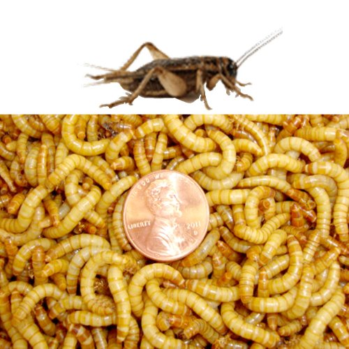 500ct Live Mealworms and 500ct Live Large Crickets-Original Brown by Gimminy Crickets and Worms