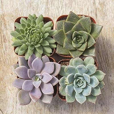 Succulent Plants   Real Life Plants   Greenhouse Grown   Farm Direct   Interior House Plants (4): Home & Kitchen